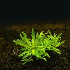Miscellaneous Aquarium Plants for Sale