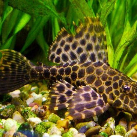 Sailfin Pleco Black Gibbiceps Algae Fish