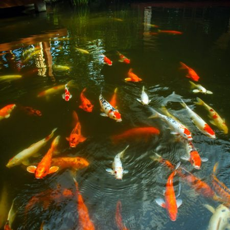 Koi & Other Pond Fish