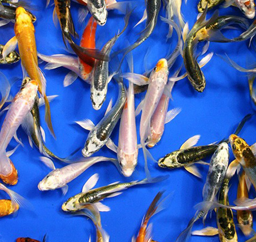 Japanese Butterfly Koi For Sale At Azgardens Com Since 1987