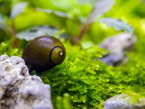 Exotic Freshwater Snails For Sale Arizona Aquatic Gardens