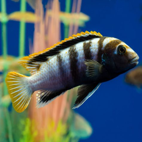 Cichlids - African Cichlids Aquarium Fish