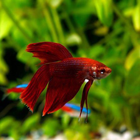 Labyrinth Fish - Betta, Gourami, Badis, Paradise Fish