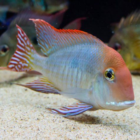Cichlids - New World Cichlids Aquarium Fish