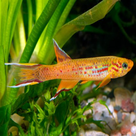 Killifish - Cyprinodontidae Fish