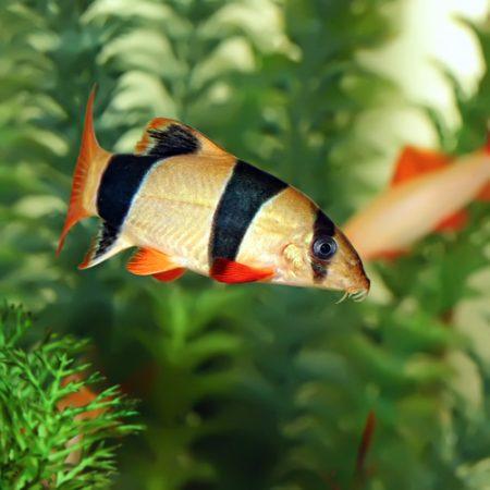 Loach, Botia & Garra Aquarium Fish