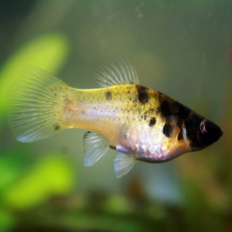 Livebearers - Platy or Platies