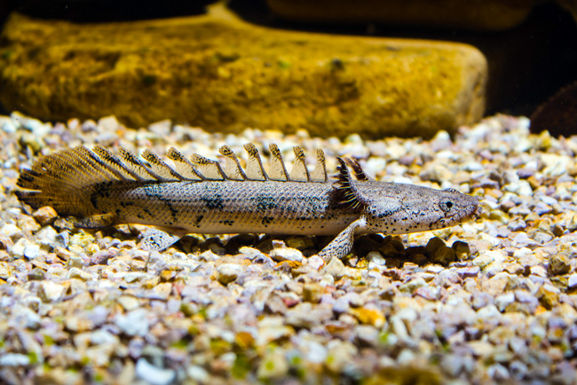 Polypterus Delhezi Or Armored Bichir For Sale At Azgardens Com